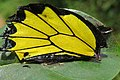 Troides minos - Southern Birdwing - part of male wing at Iritty (3).jpg