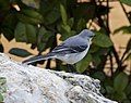 Tropical Mockingbird 3 (4354809549).jpg