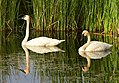 Trumpeter swan on Seedskadee National Wildlife Refuge (36919133905).jpg