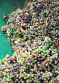 Tub of botrytis inffected Riesling Grapes.jpg