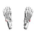 Tuberosity of fifth metatarsal bone 03 inferior view.png