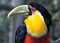 Tucano-de-bico-verde - Ramphastos dicolorus 02.jpg
