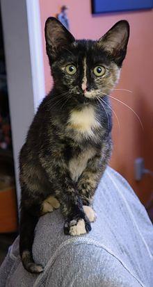 tortoiseshell cat wikipedia