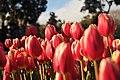 Tulip - panoramio - Babiesan.jpg