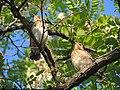 Turdus pilaris (35008444721).jpg