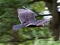 Turkey Vulture in flight 4 (6021947221).jpg