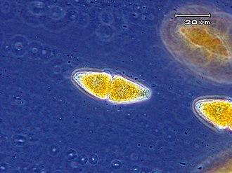 Teliospore - Two-celled teliospore of Gymnosporangium globosum