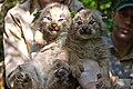 Two Canada Lynx Kittens.jpg