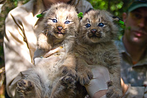 Canada lynx - Canada lynx kittens are born with blue eyes
