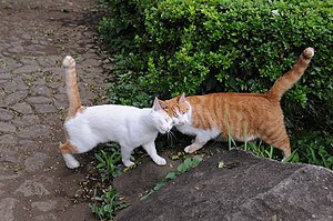 "Cat behavior - Cats greeting by rubbing against each other; the upright ""question mark shape"" tails also indicate happiness or friendship"