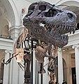 Tyrannosaurus rex (theropod dinosaur) (Hell Creek Formation, Upper Cretaceous; near Faith, South Dakota, USA) 33.jpg