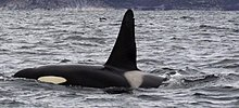 Back and dorsal fin of killer whale projecting above the sea surface, including the grey saddle patch and part of the white eye patch. The dorsal fin rises steeply to a rounded point.