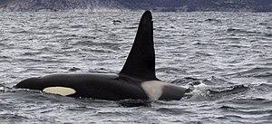 Tysfjord orca 1.jpg
