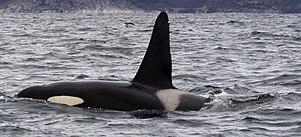 Samec kosatky s typicky vztyčenou velkou hřbetní ploutví poblíž Tysfjordu v Norsku