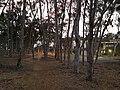 UCSD Eucalyptus Grove 3 2013-08-29.jpg