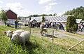 UMB-Sheep.jpg