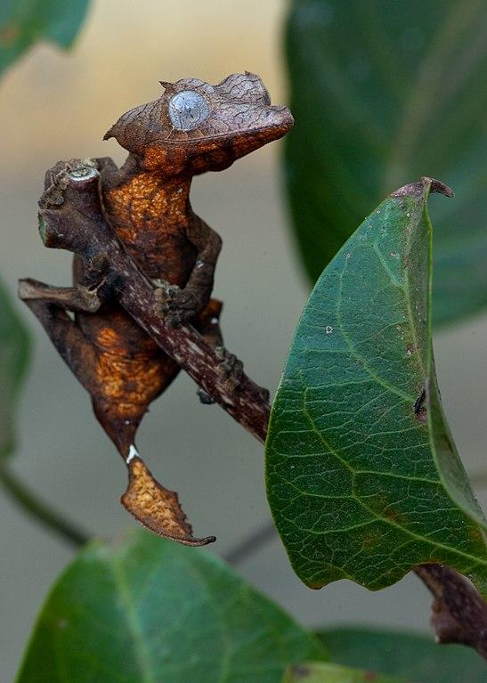 Nočný gekon Uroplatus ebenaui sa prispôsobil prostrediu - vyzerá ako zoschnutý list