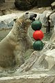 Ursus maritimus at the Bronx Zoo 009.jpg