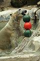 Ursus maritimus at the Bronx Zoo 009.jpg