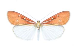 <i>Utetheisa</i> genus of insects