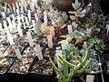 VU-hortus, cactuskas.jpg