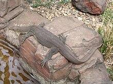 Monitor lizard Wikipedia the free encyclopedia