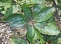 Verbascum phoeniceum 2017-09-29 6049.jpg