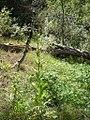 Verbascum thapsus-8-27-04.jpg