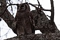 Verreauz's Eagle Owl (28100188822).jpg