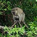 Vervet Monkeys (6623621665).jpg