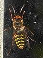 Vespa crabro ventral 02.jpg