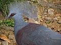 Victoria Crowned Pigeon (7856594090).jpg