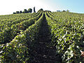 Vigne (Chatillon sur Marne pape Urbain2) Cl J Weber01 (23049532324).jpg