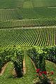 Vignoble Champagne Cl j Weber01 (23381984390).jpg