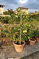 Villa la quiete, giardino all'italiana, limoni 03.JPG