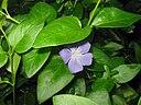 feuilles et fleurs de la petite pervenche