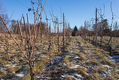 Vines in Cateaux Luna vineyard 2.jpg