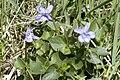 Viola.riviniana2.-.lindsey.jpg