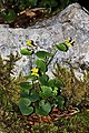 Viola biflora 02.jpg