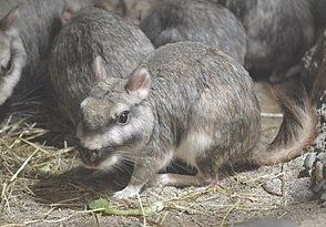 Viscacha (Lagostomus maximus)