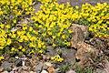 Vitaliana primuliflora 02.jpg
