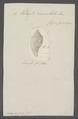 Voluta crenulata - - Print - Iconographia Zoologica - Special Collections University of Amsterdam - UBAINV0274 087 04 0046.tif