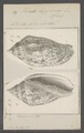 Voluta lapponica - - Print - Iconographia Zoologica - Special Collections University of Amsterdam - UBAINV0274 087 04 0034.tif