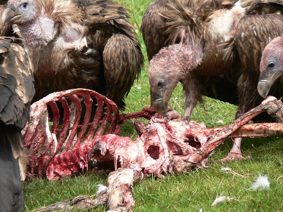 Vulture - Sky burial