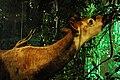 WLA hmns Okapi 3.jpg