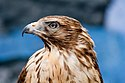 WR - Broadwing Hawk 1 (5761934832).jpg