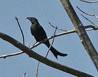 Wallacean drongo species of bird