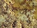 Wasp on honeycomb (10500962223).jpg