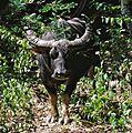 Water Buffalo Bubalus bubalis (7882344334).jpg