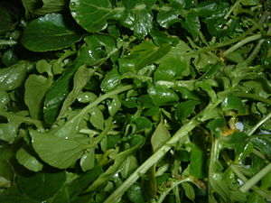 Watercress (Nasturtium officinale) is a dark g...